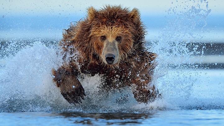 Bear running on water