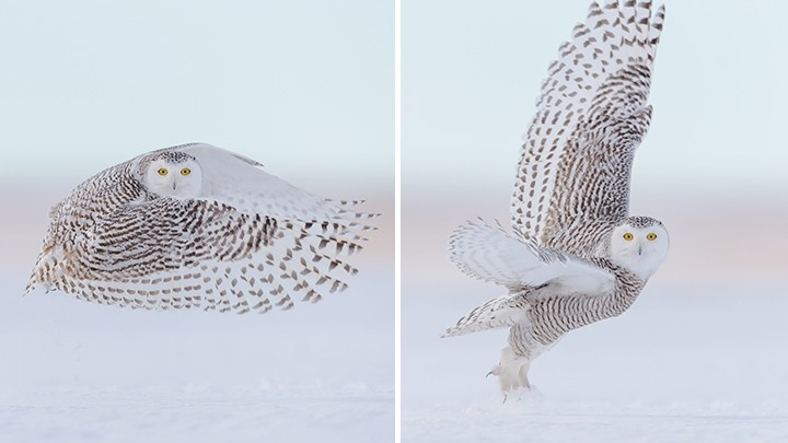 Snow owl two images
