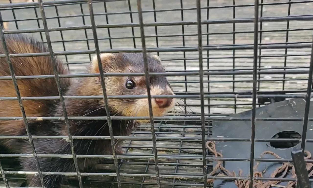 Soms zit er geen rat in de val.. Dit keer stonk de schuur als een bunzing!